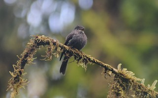 - White-throated Pewee