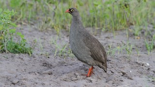 - Red-billed Francolin