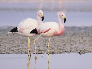 - Andean Flamingo