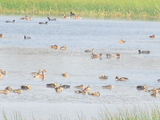 Fulvous Whistling-Duck, ML23705101