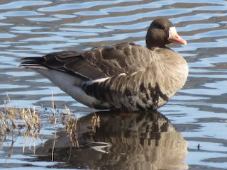 Greater White-fronted Goose, ML23718541