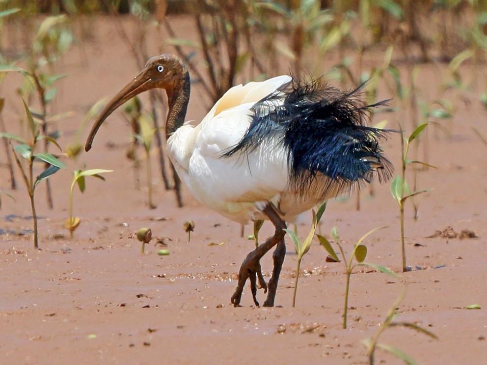 Madagascar Sacred Ibis - Nigel Voaden
