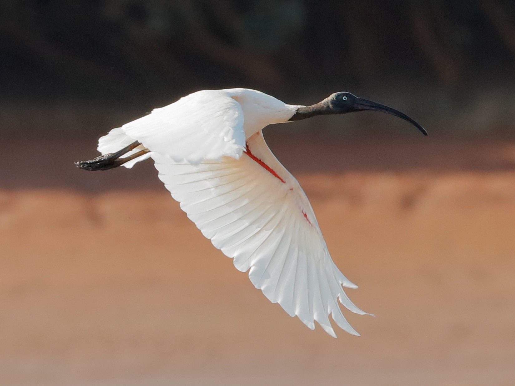 Madagascar Sacred Ibis - Holger Teichmann