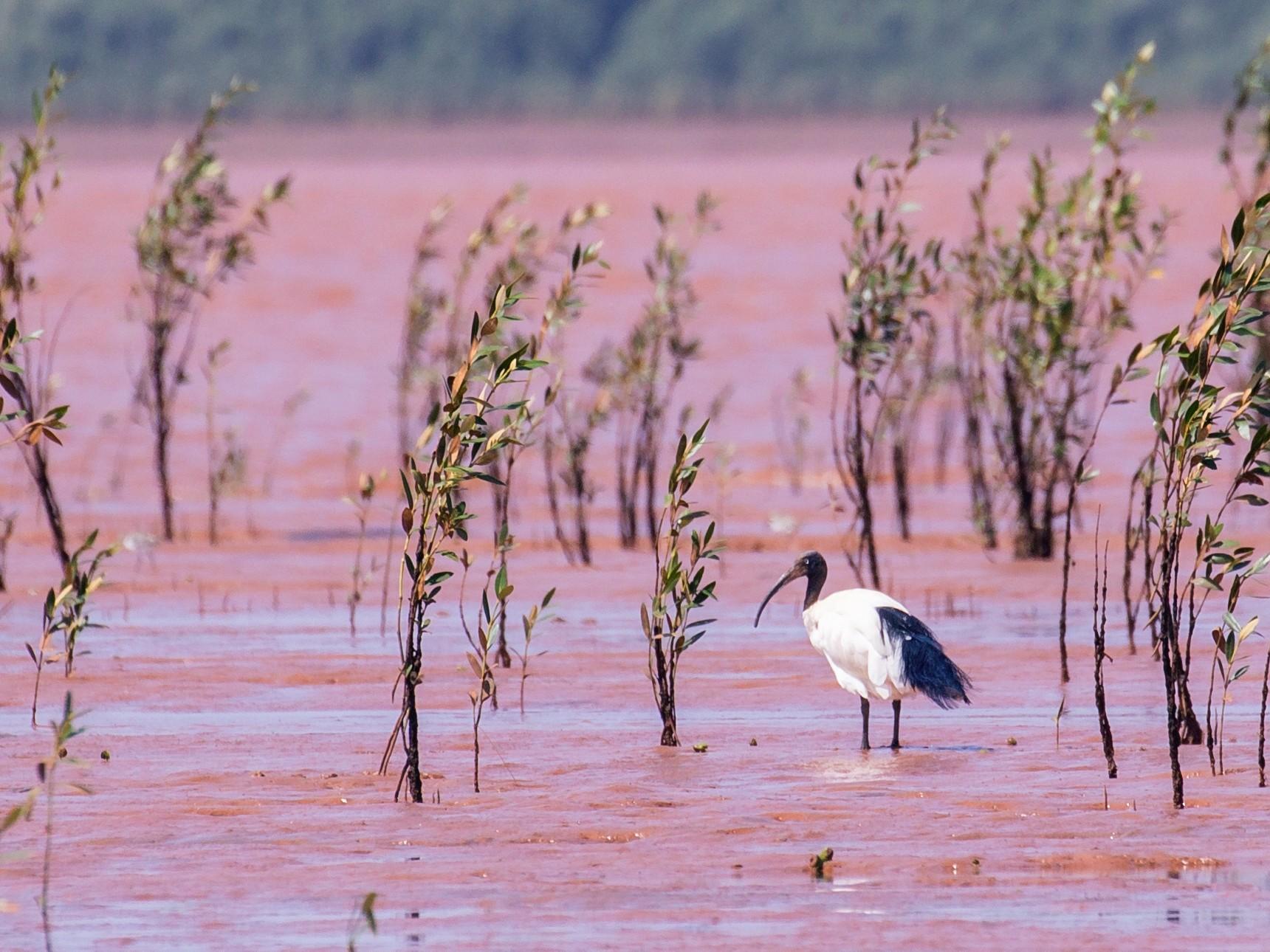 Madagascar Sacred Ibis - Simon Lane