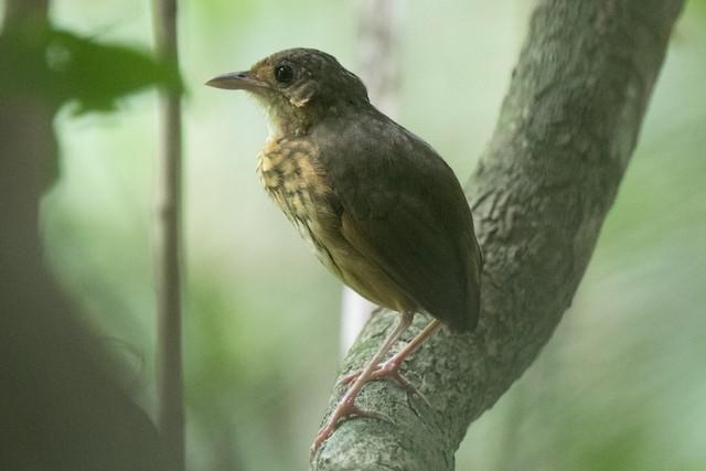 Amazonian Antpitta