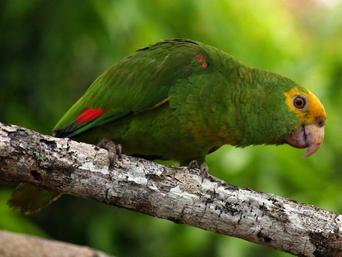 Yellow-headed Parrot - Rémi Bigonneau