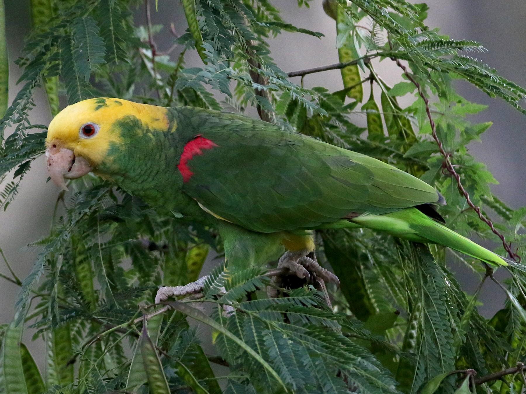 Yellow-headed Parrot - Jay McGowan