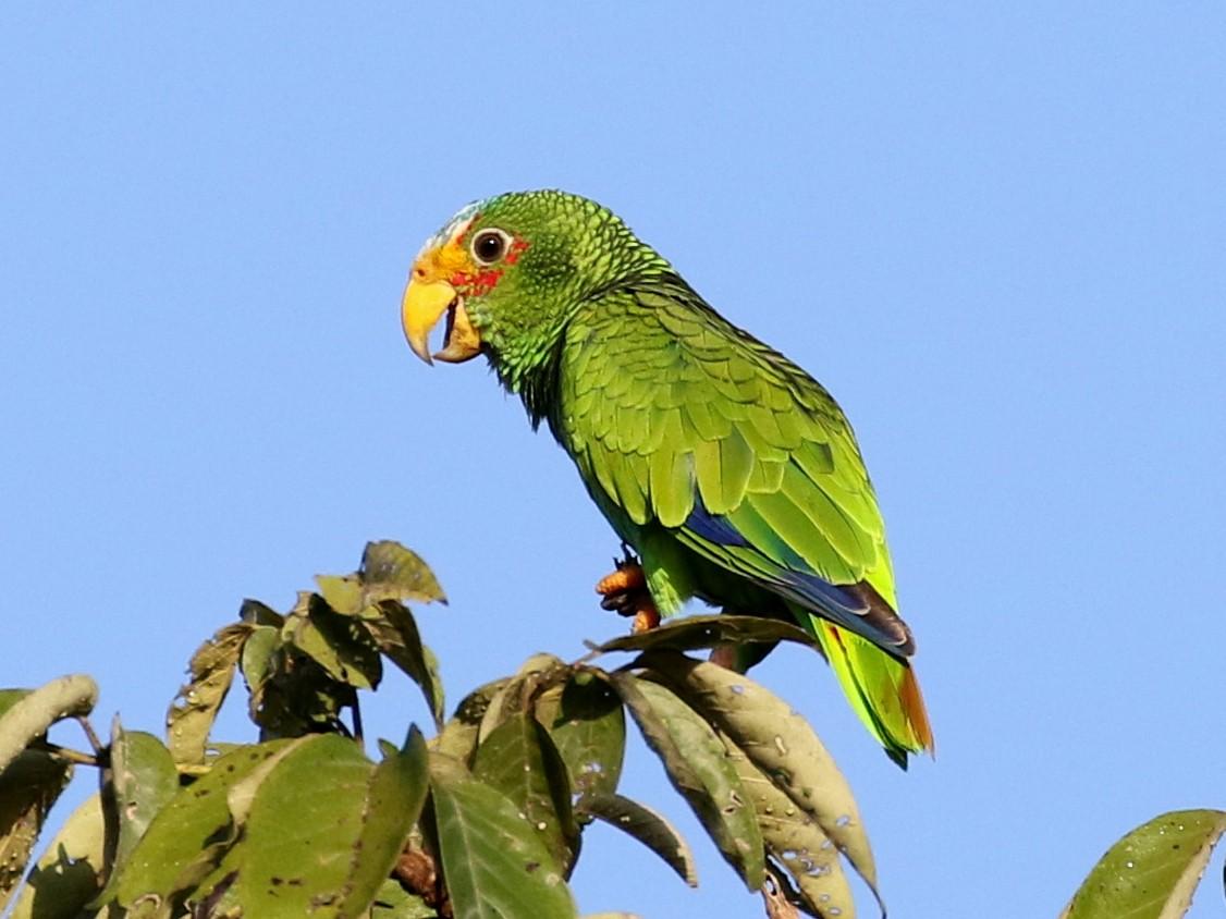 Yellow-lored Parrot - Matthew Grube