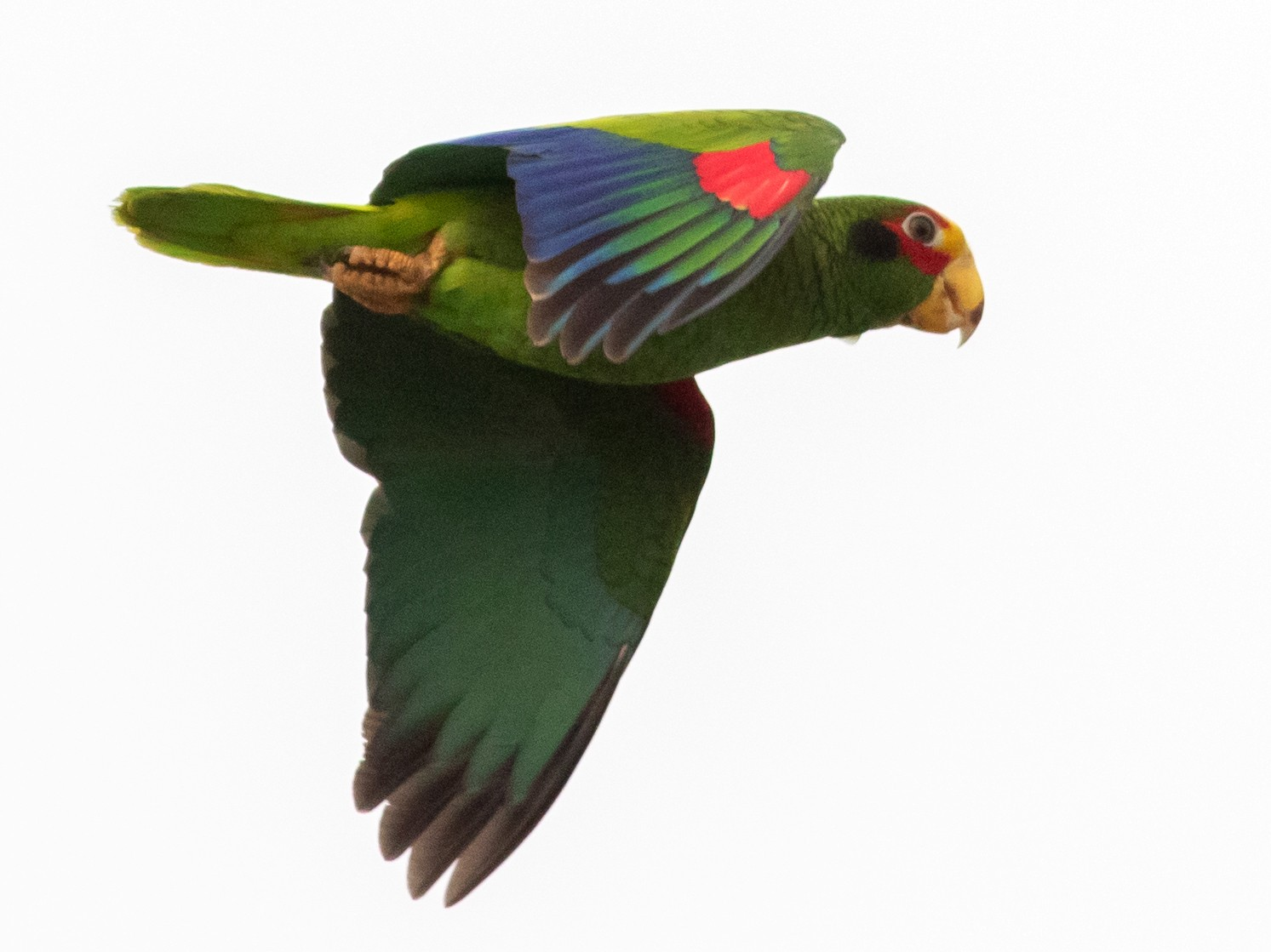 Yellow-lored Parrot - Francis Canto Jr