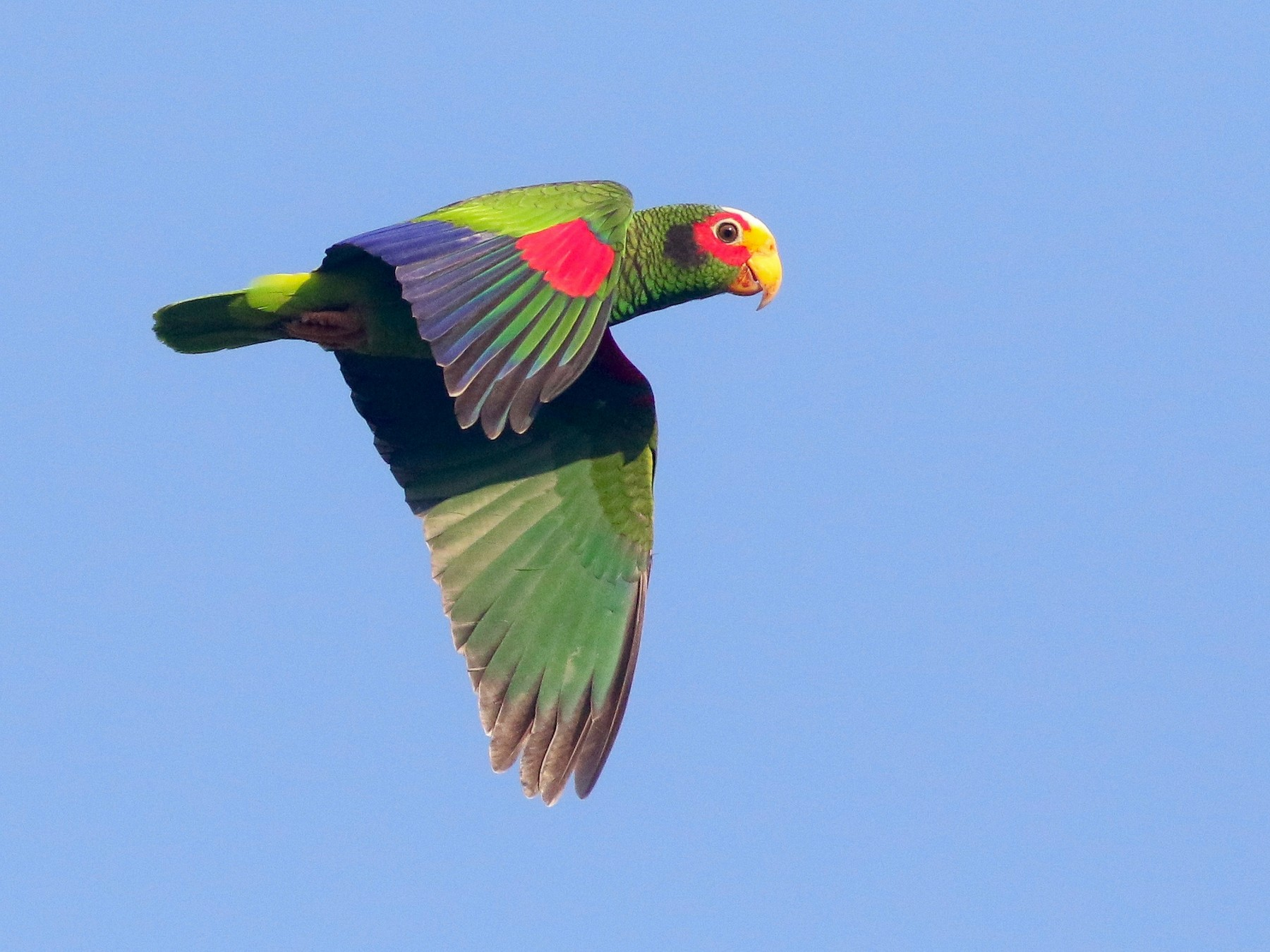 Yellow-lored Parrot - Michael O'Brien