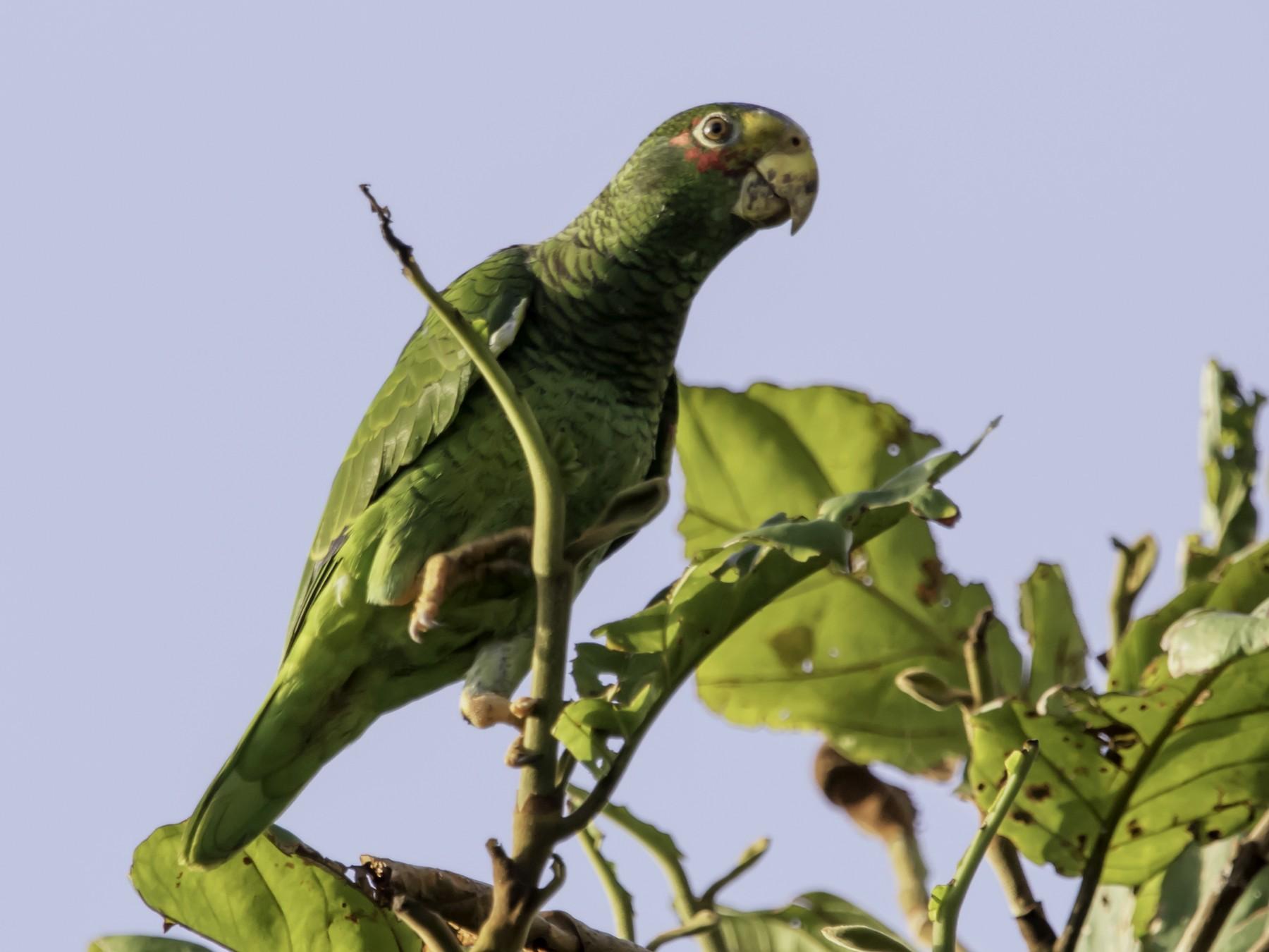Yellow-lored Parrot - Jorge Eduardo  Ruano