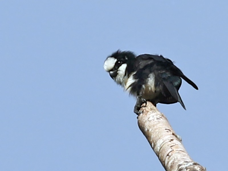 White-fronted Falconet - Charley Hesse https://www.schoolofbirding.com/