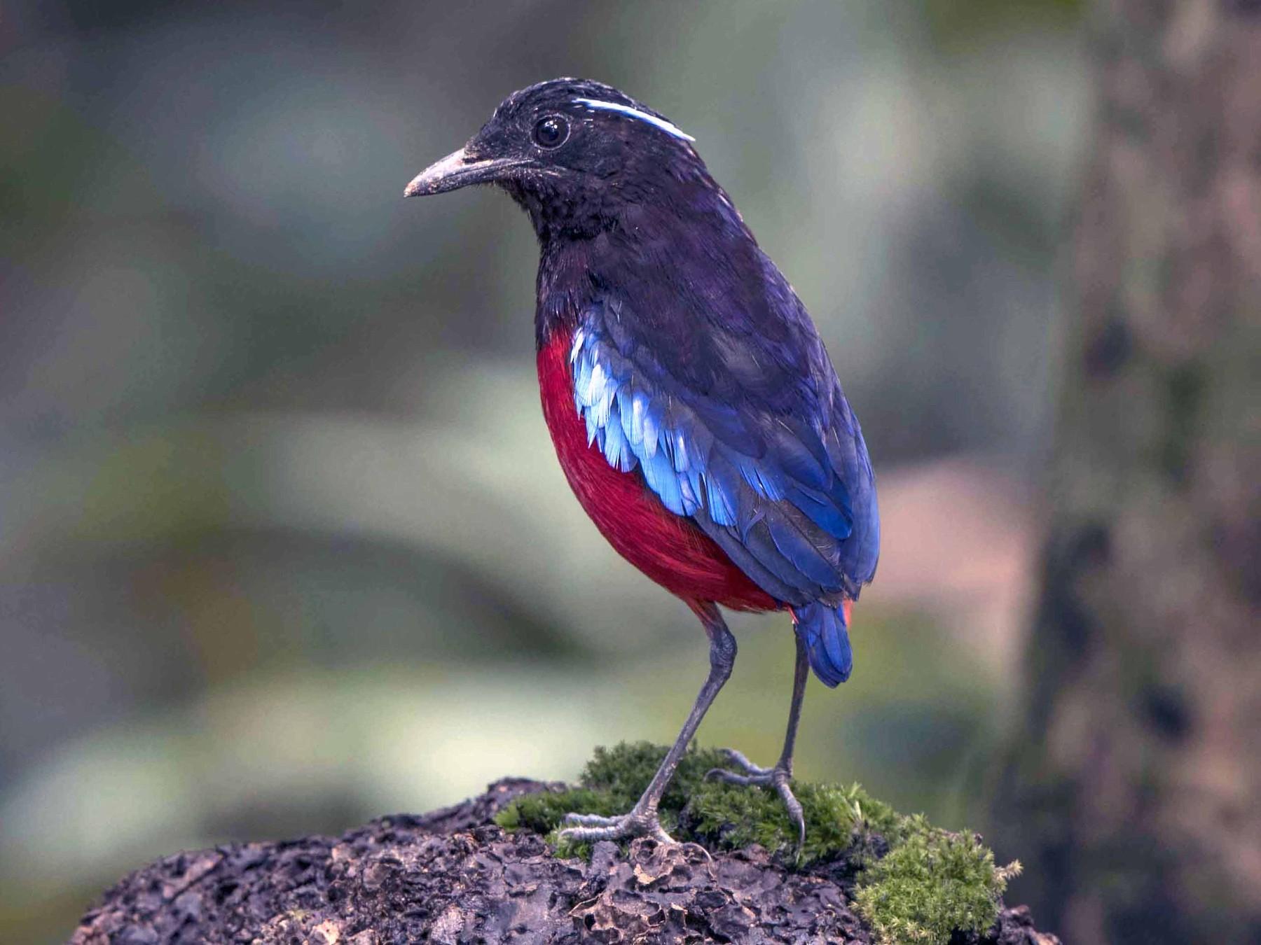 Black-crowned Pitta - jimmy Yao