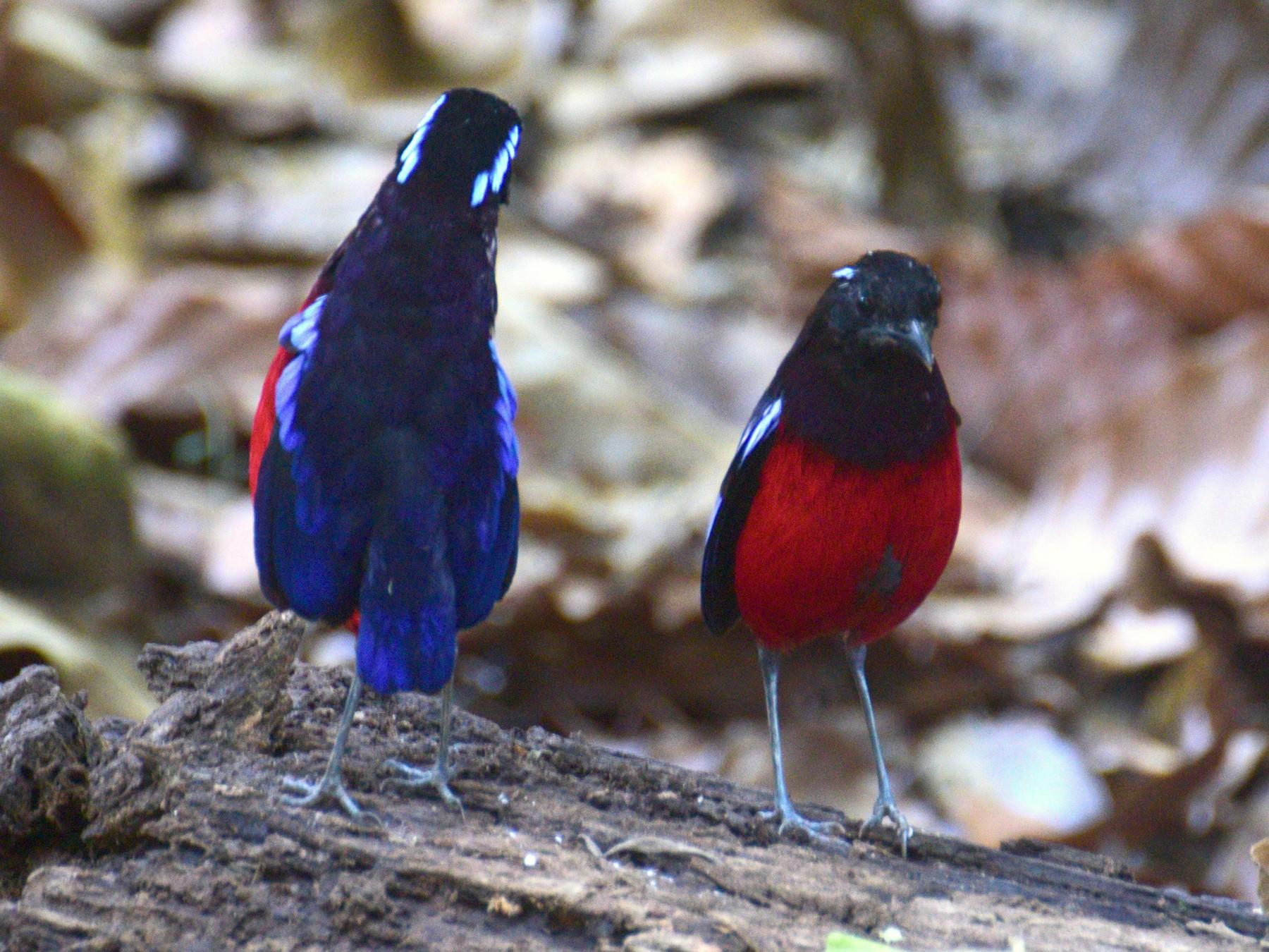 Black-crowned Pitta - Ben  Lucking