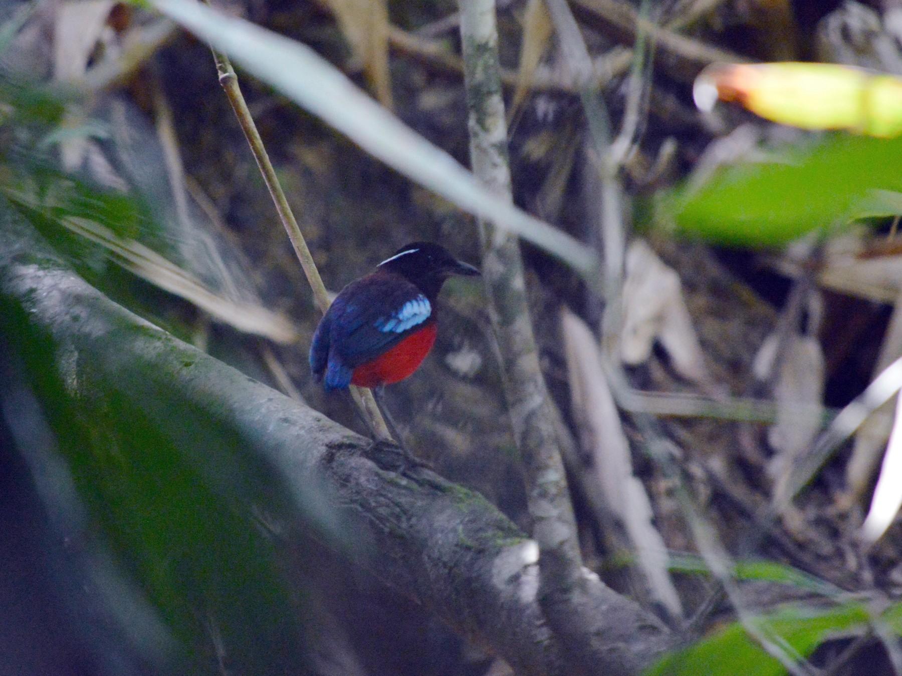 Black-crowned Pitta - Eli Gross