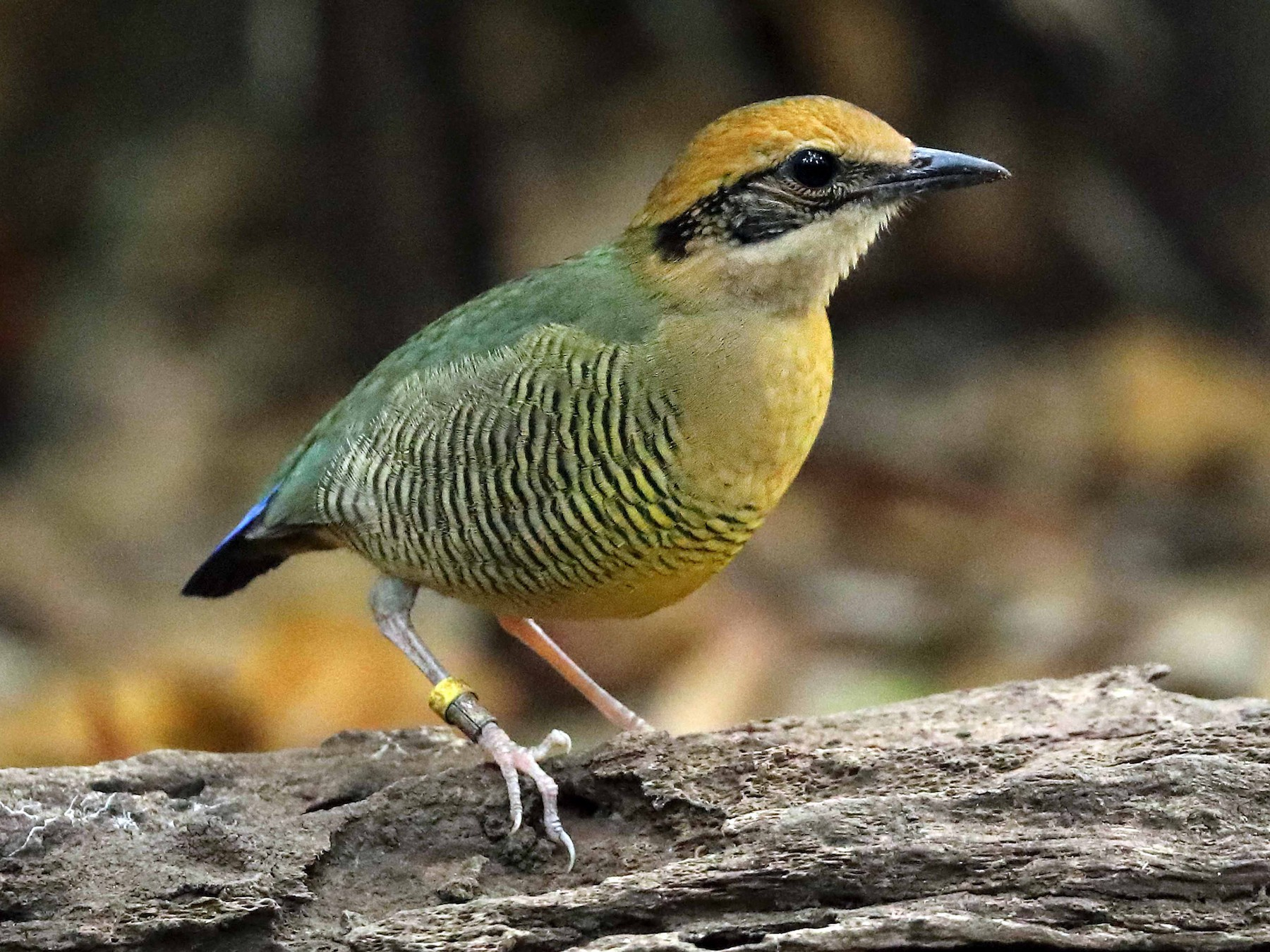 Bar-bellied Pitta - Ly Lan Le Do