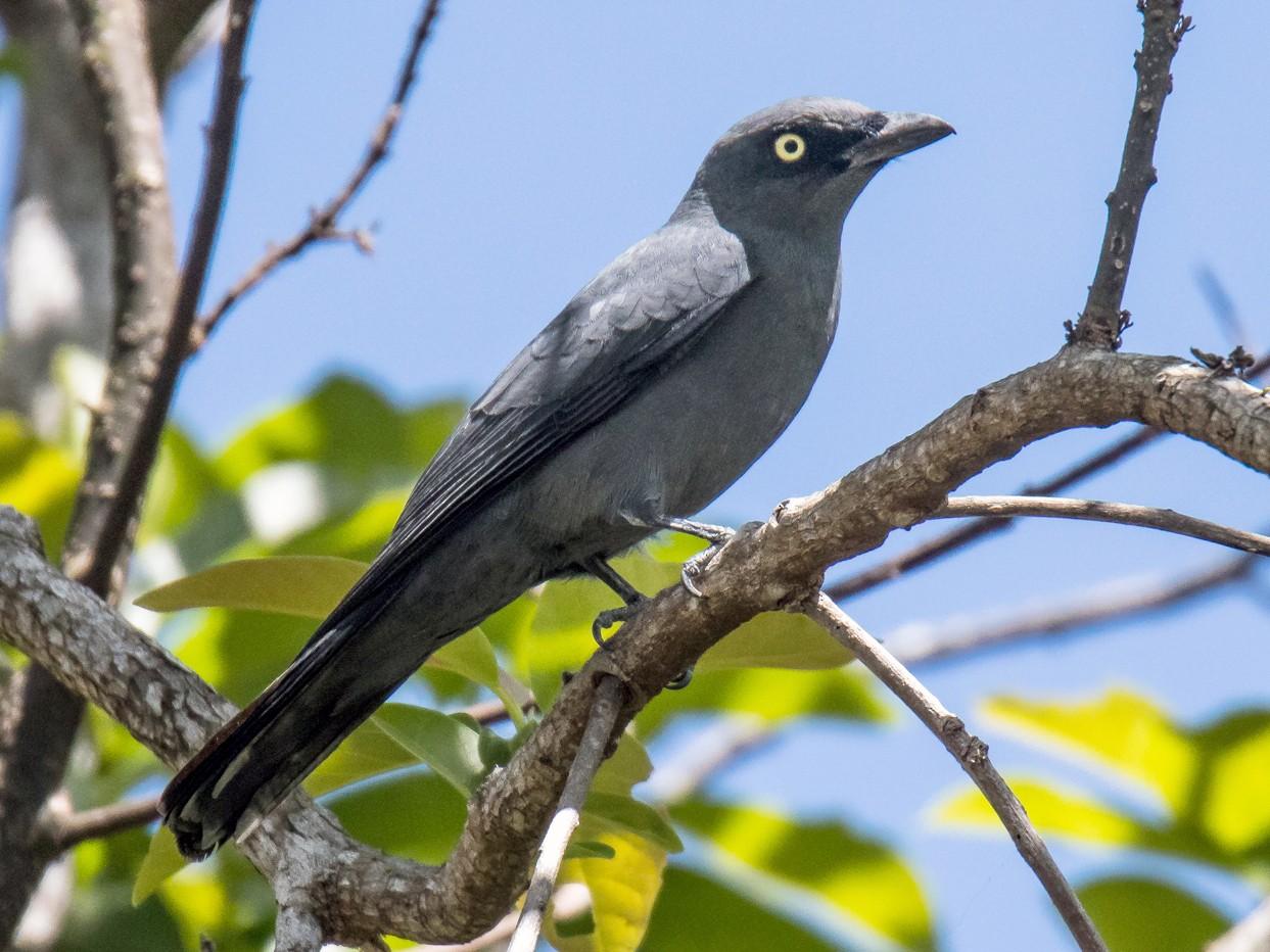 Bar-bellied Cuckooshrike - Djop Tabaranza