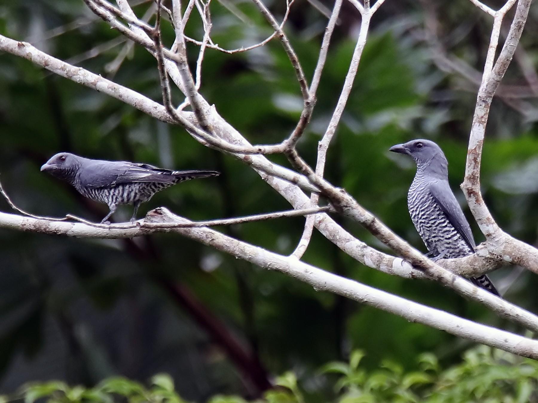 Bar-bellied Cuckooshrike - Chris Chafer