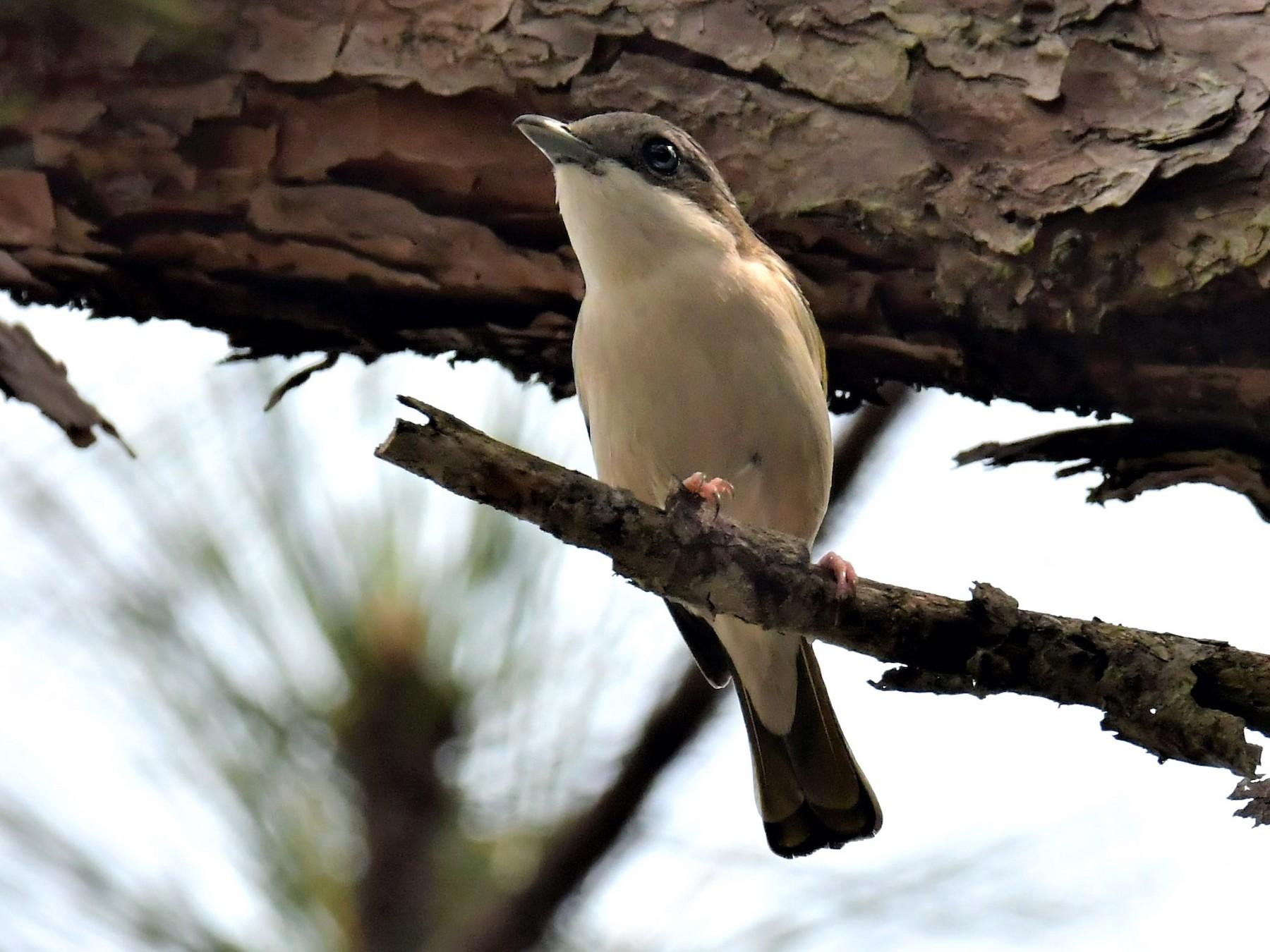 Dalat Shrike-Babbler - C L  Hampton