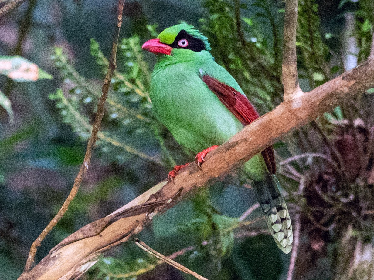 Bornean Green-Magpie - Forest Jarvis