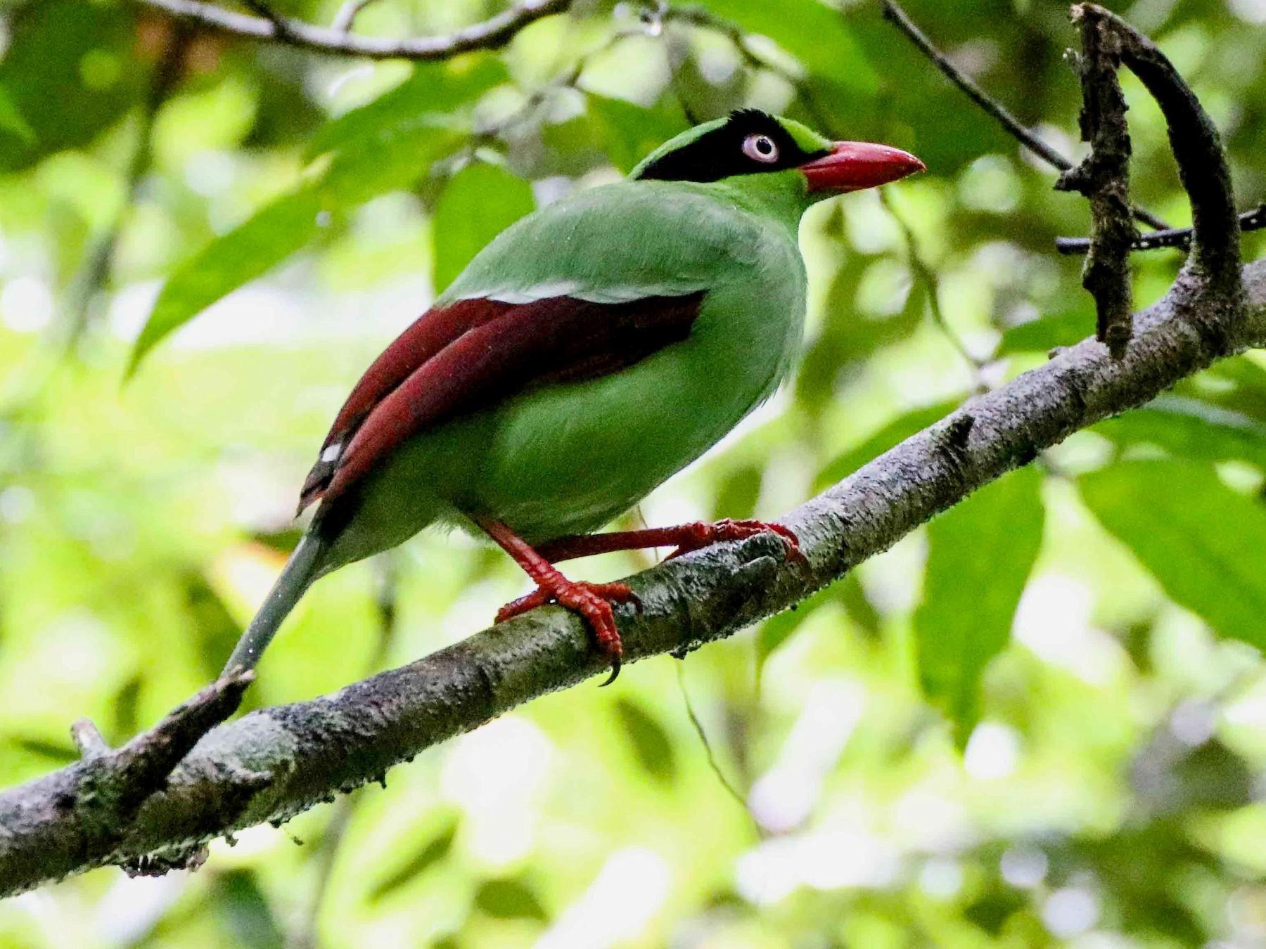 Bornean Green-Magpie - Thomas Job