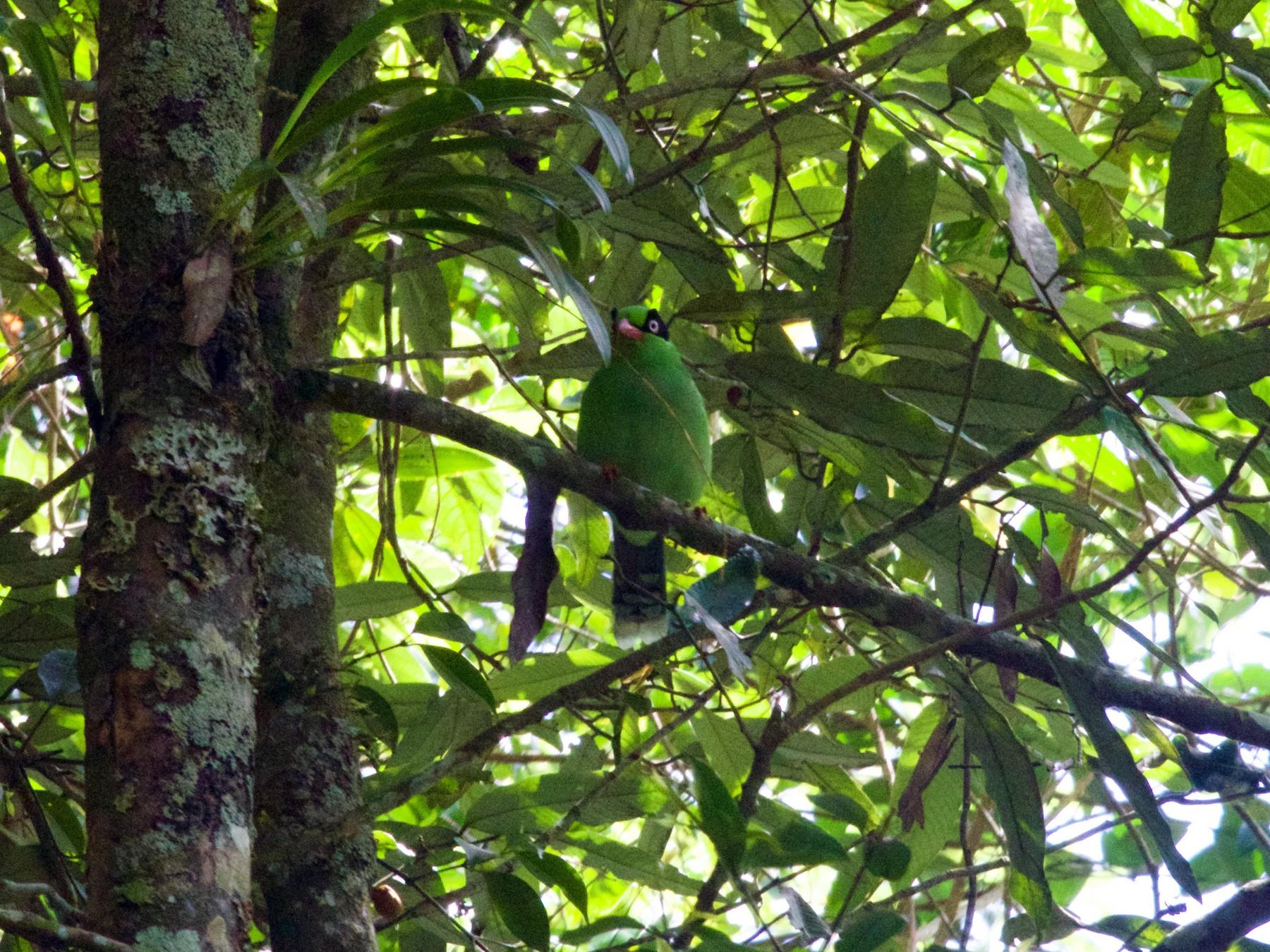 Bornean Green-Magpie - Gary Brunvoll