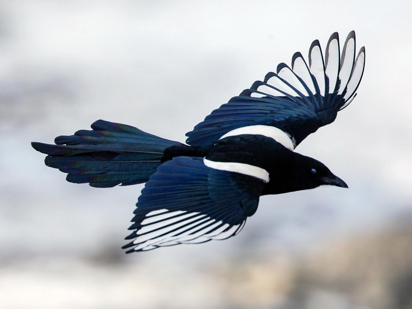 Black-rumped Magpie - Robert Tizard