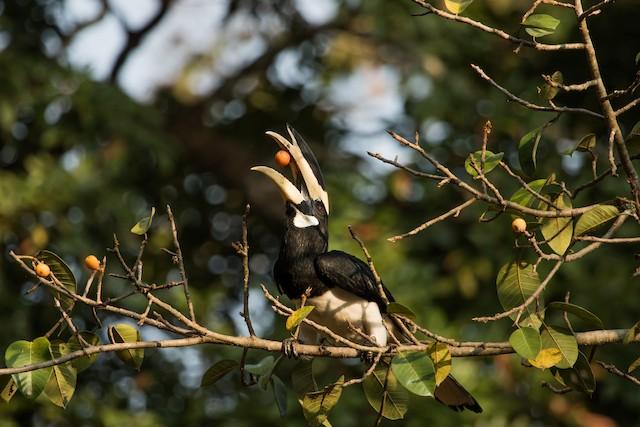 Malabar Pied-Hornbill