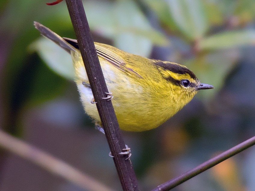 Mountain Leaf Warbler - Ayuwat Jearwattanakanok