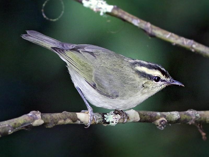 Mountain Leaf Warbler - Charley Hesse https://www.schoolofbirding.com/