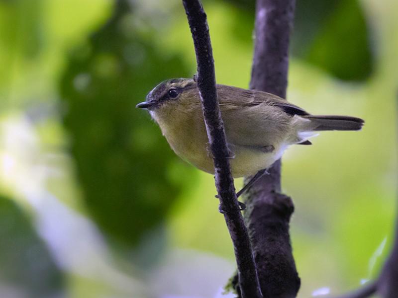 Mountain Leaf Warbler - Lars Petersson