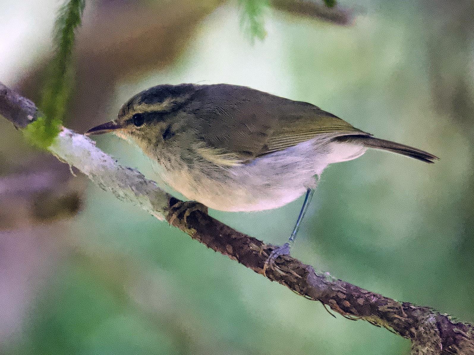 Mountain Leaf Warbler - Qin Huang
