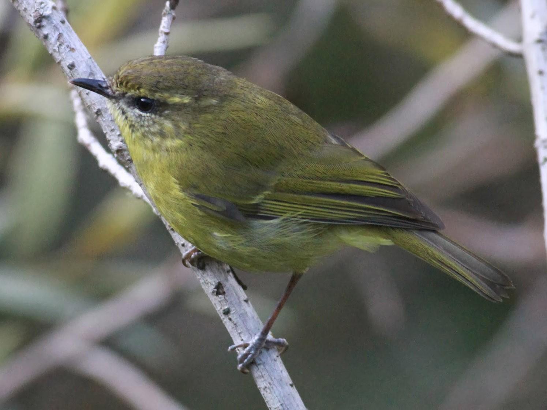 Mountain Leaf Warbler - Paul Bourdin