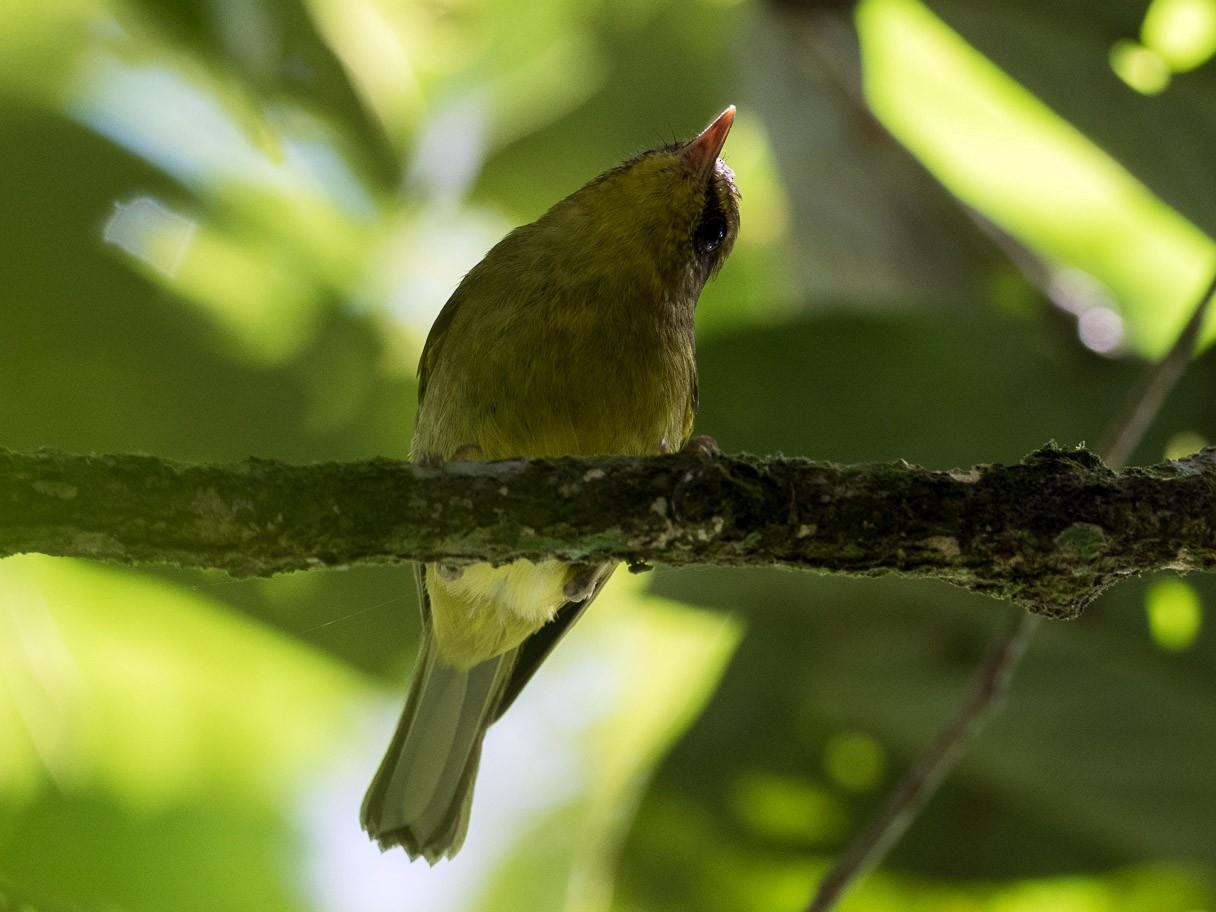 Mountain Leaf Warbler - Forest Jarvis