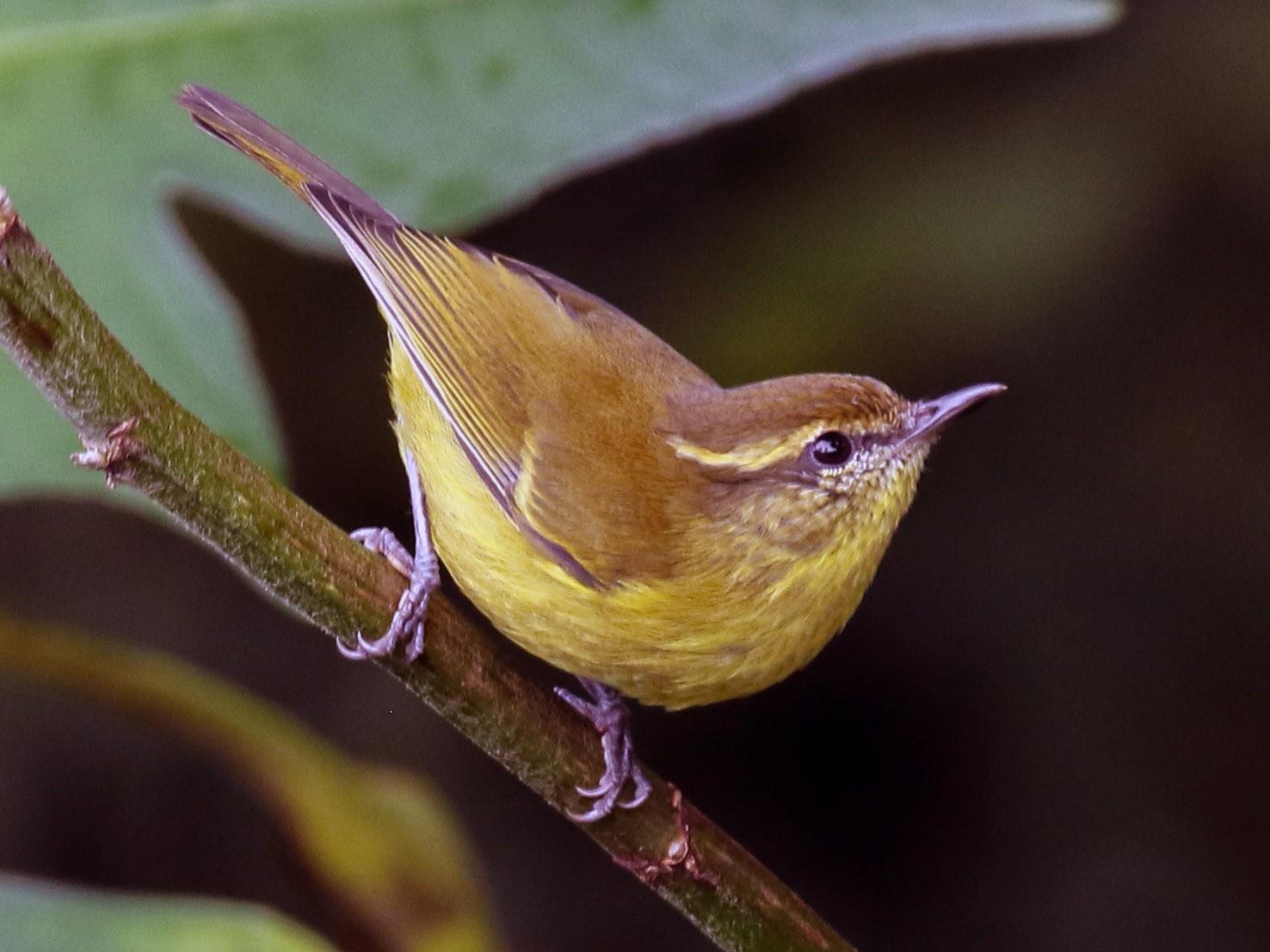 Mountain Leaf Warbler - Alex Berryman