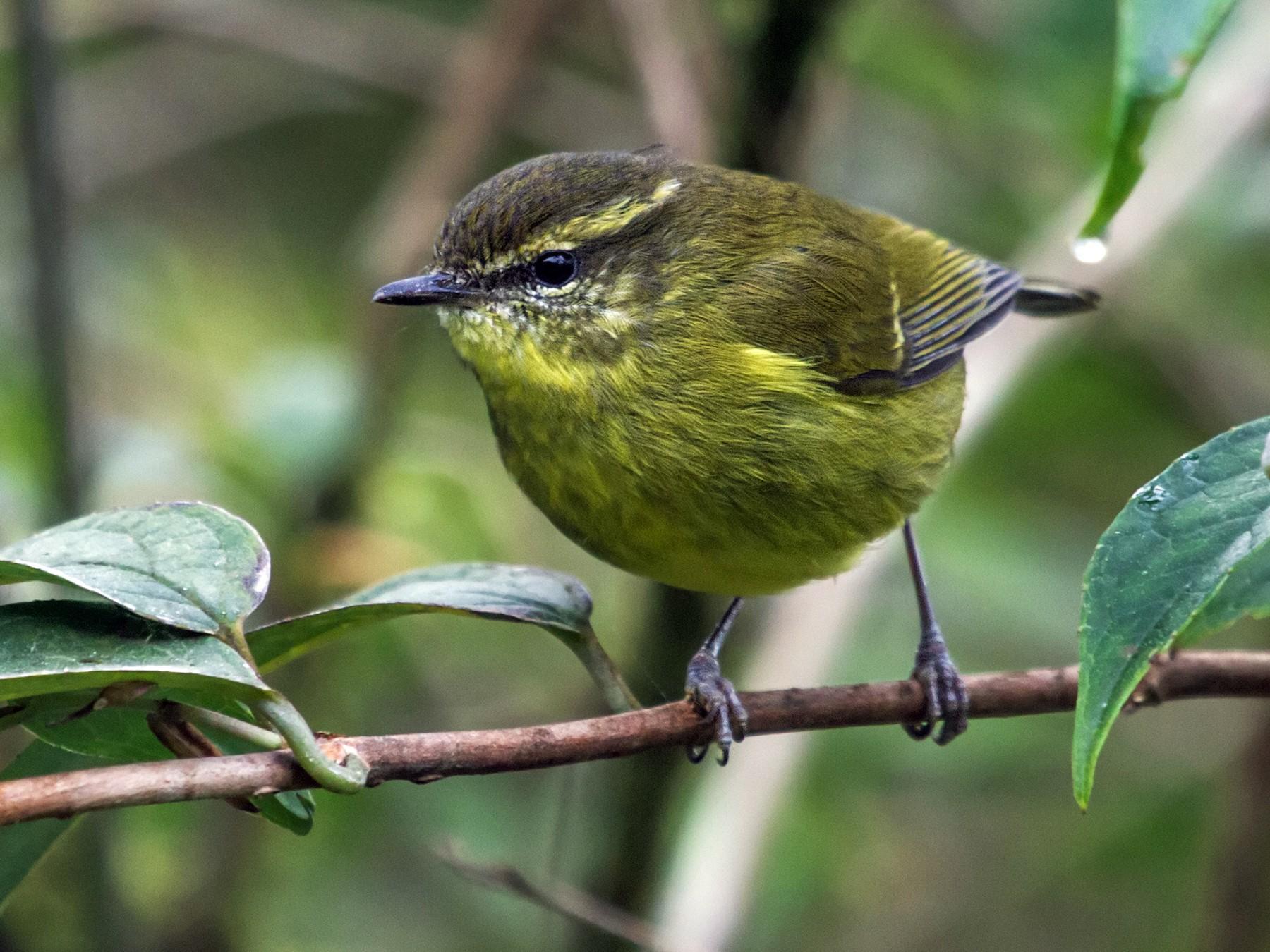 Mountain Leaf Warbler - Nick Athanas