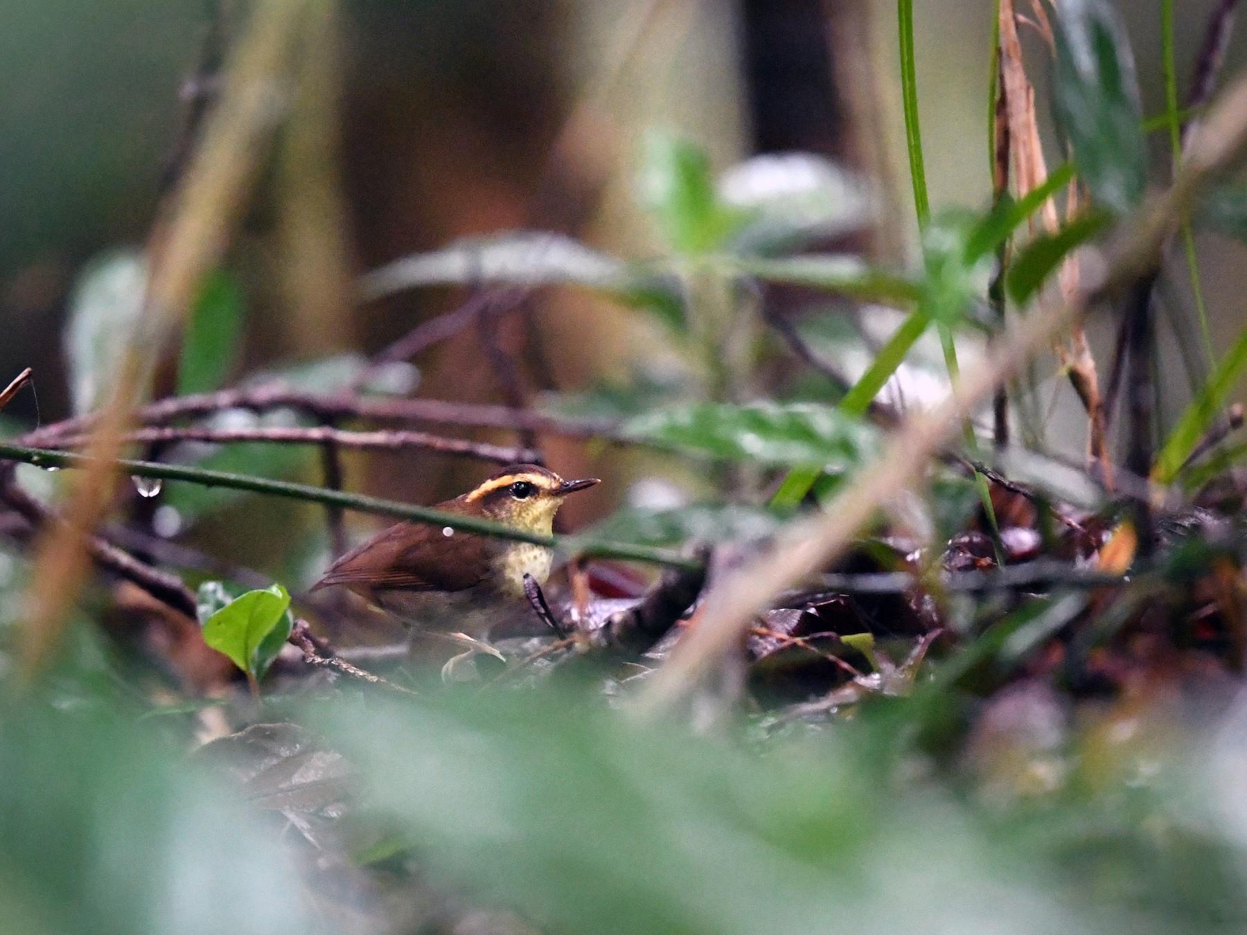 Bornean Stubtail - Will Yan