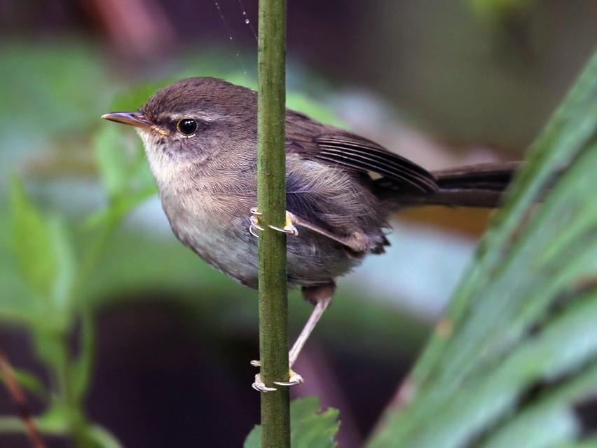 Sunda Bush Warbler - Lars Petersson