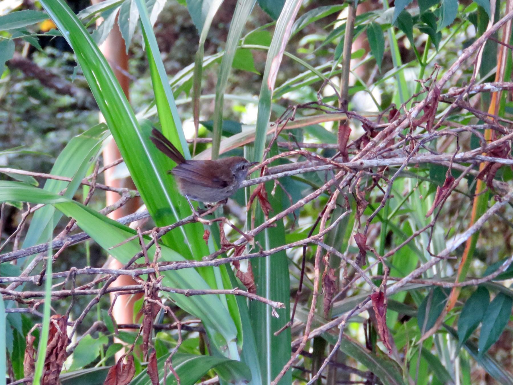 Sunda Bush Warbler - Gary Douglas