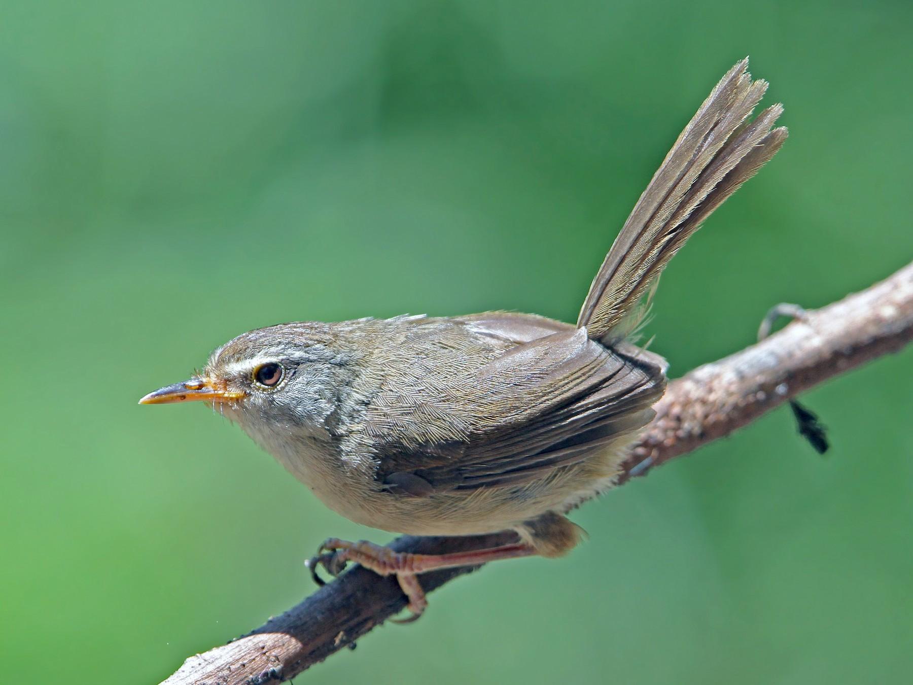Sunda Bush Warbler - Christoph Moning