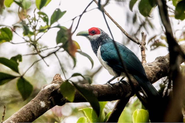 Red-faced Malkoha