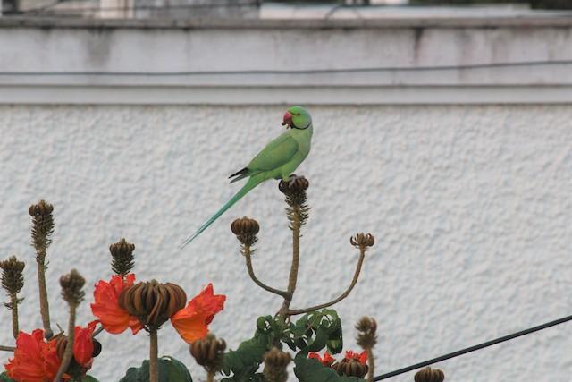 ©kalpana jayaraman - Rose-ringed Parakeet