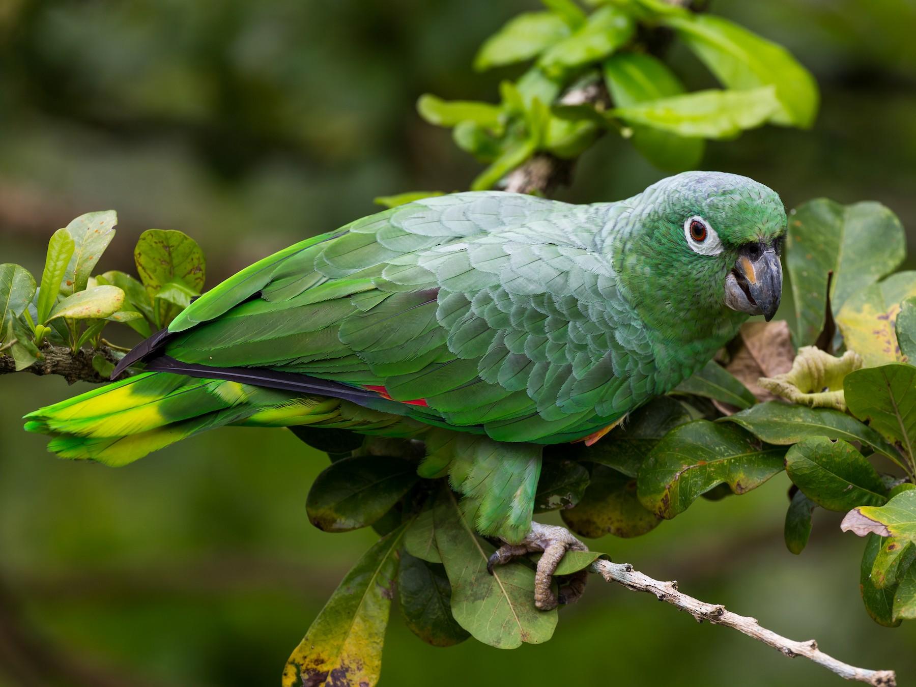 Mealy Parrot - Rodrigo Gaviria O