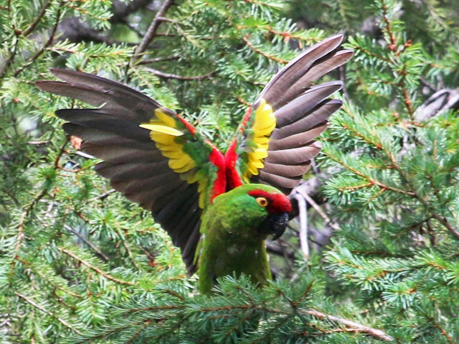 Thick-billed Parrot - Ricardo Guerra