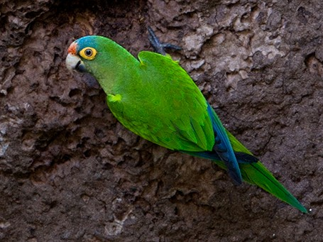 Orange-fronted Parakeet - Suzanne Labbé