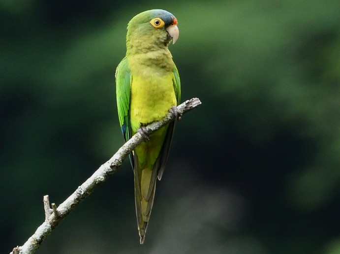 Orange-fronted Parakeet - Antonio Robles