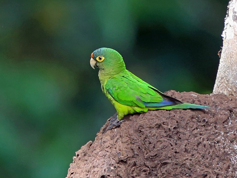 Orange-fronted Parakeet - Nigel Voaden