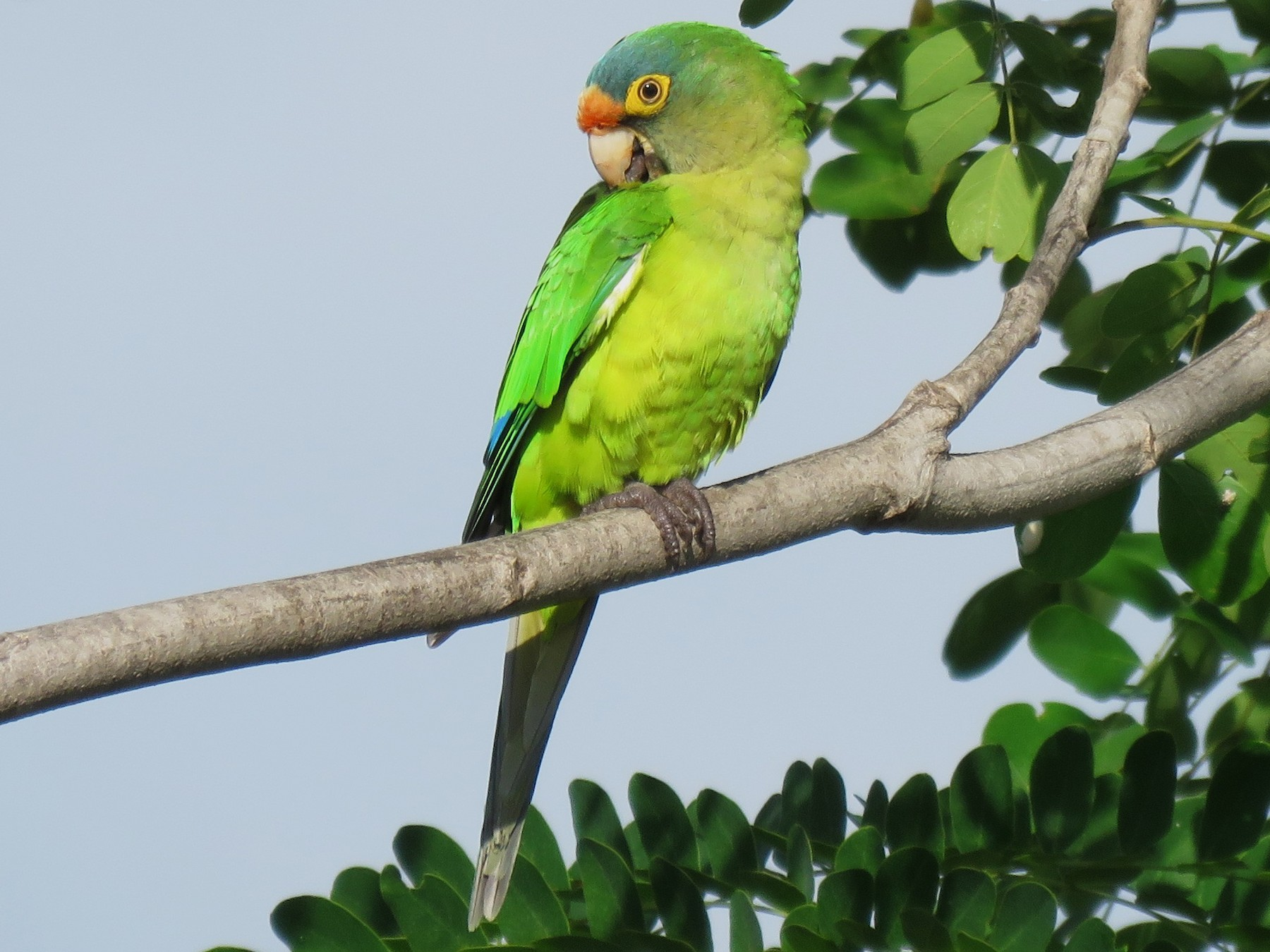 Orange-fronted Parakeet - Jessie Stuebner