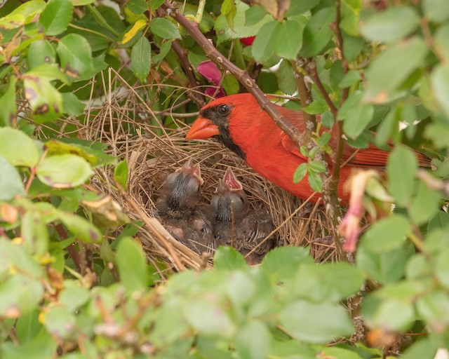 Male Northern Cardinal with young at nest.
