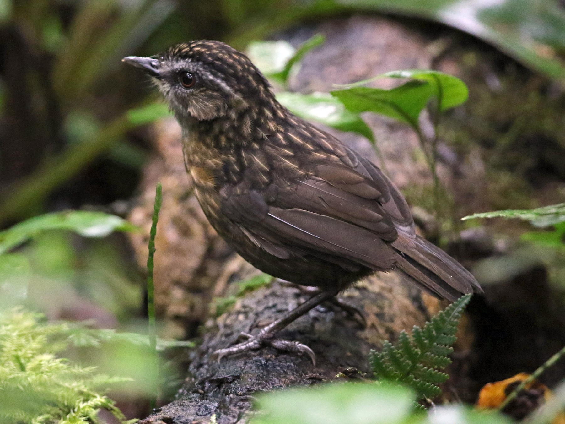 Mountain Wren-Babbler - Gerlinde Taurer